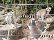 091214_Noby7_lemur.jpg