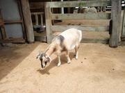 091214_Noby8_goat.jpg