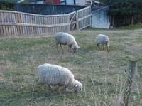 100812_7_Noby_sheep.jpg