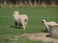 101014_1_Noby_sheep.jpg
