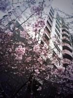 141008_01_Rin_Sakura.JPG