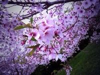 141020_01_Rin_sakura.JPG