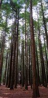 20190722_1_ヒロミ_redwoods1.jpg